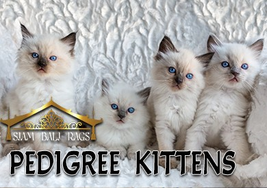 Looking for an adorable Ragdoll, Siamese or Balinese?  CLICK HERE !